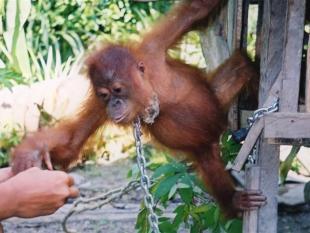 Democratisering helpt natuurbehoud niet in Indonesië