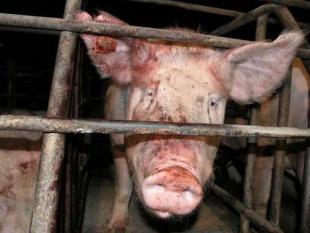 Ziek van gezonde varkens