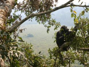 Gulle mannelijke chimpansees hebben vaker seks