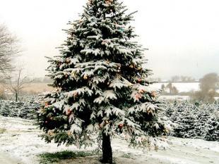 Doe iets voor het milieu, kap een echte kerstboom