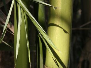 Bamboe, supergras!