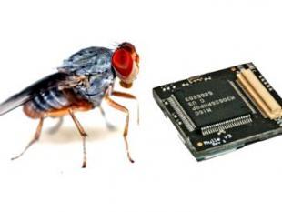 Fruitvlieg staat model voor nieuwe sensornetwerken