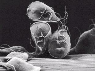 Darmparasiet Giardia gaat van dier naar mens