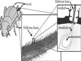Haar op het achterlijf van krekels leidt naar ultragevoelige sensor