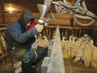Foie gras: wetenschappelijk getest, maar nog steeds niet diervriendelijk