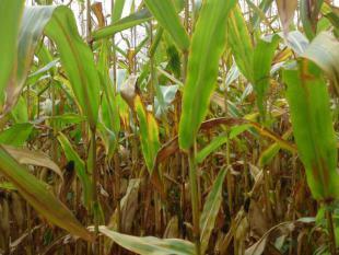 Van maïs naar biobrandstof