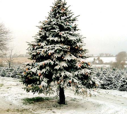 Doe Iets Voor Het Milieu Kap Een Echte Kerstboom Sync Nl