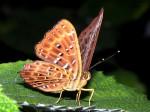 Een mannetjesvlinder kan zijn vrouwtje al op kilometers afstand