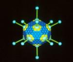 de vorm van een adenovirus