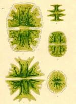 Zo is inmiddels duidelijk geworden dat algen die op een uithongeringsdieet worden gezet, veel meer olie produceren (tot wel zestig procent van hun eigen gewicht) dan verzadigde exemplaren